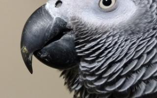 Попугай тяжело дышит с открытым клювом