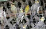 Средние попугаи виды, размеры попугаев