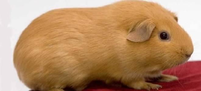 Самая большая морская свинка в мире фото – породы свинок