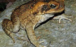 Чем кормить жабу в домашних условиях – лягушка ага