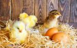 Рождение цыпленка: как рождаются цыплята?
