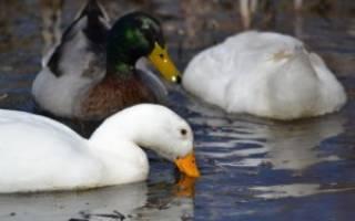 Сколько живет утка в домашних условиях — продолжительность жизни уток