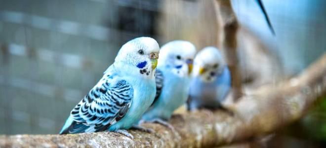 Как учить волнистого попугая разговаривать?