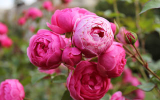 Роза латин помпон энциклопедия роз, помпонелла pomponella