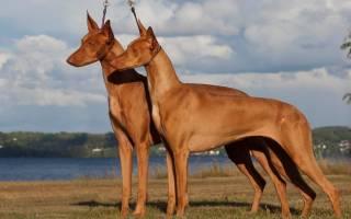 Маленькие гладкошерстные собаки породы название с фото