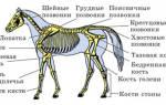 Сколько шейных позвонков у лошади, череп коня