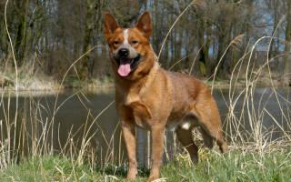 Порода собак австралийский хилер, cattle dog