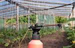 Как правильно удобрять огурцы в теплице?