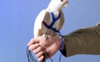 Поводки для попугаев: ошейник для попугая