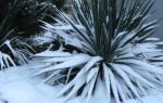 Уход за юккой осенью подготовка к зиме: юка цветок садовый фото