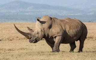 Сколько лет живут носороги?