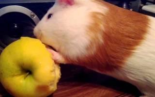 Можно ли морским свинкам яблоки