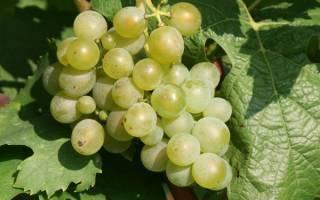 Какие сорта винограда морозоустойчивые и сладкие?