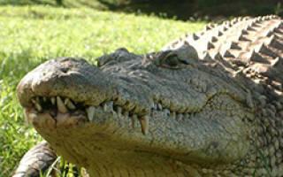 Что едят крокодилы в природе?