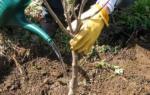 Когда лучше садить вишню весной или осенью, посадка вишневых деревьев