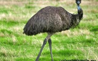 Природная среда обитания страуса эму