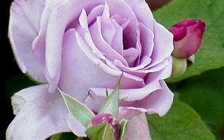 Чайно гибридные розы посадка и уход