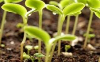 Можно ли петрушку сеять под зиму: когда осенью сажать зелень?