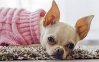 Как вызвать течку у собаки народными средствами?