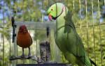 Как определить возраст ожерелового попугая?