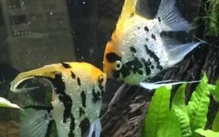 Икра скалярии через какое время появятся рыбки