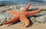 Как размножаются морские звезды?