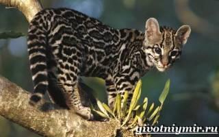 Онцилла кошка цена в рублях – анцилла животное