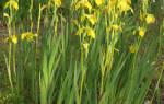 Ирис болотный фото и описание: iris pseudacorus