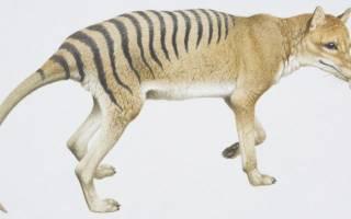 Сумчатый волк интересные факты — тилацин жив