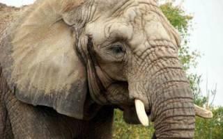 Сколько метров слон в высоту?