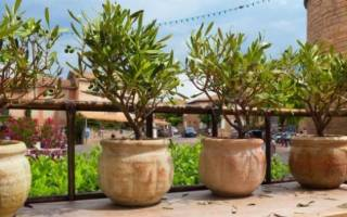 Оливковое дерево в домашних условиях уход, обрезка оливы