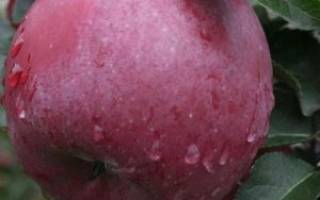 Сорт яблок энтерпрайз фото и описание
