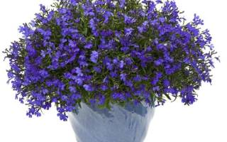 Цветок лобелия фото посадка и уход, либелла цветы