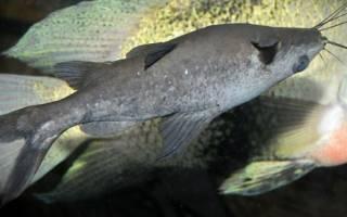 Касатка аквариумная рыбка: черный багрус