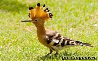 Птица с хохолком и длинным клювом — как сделать удода?