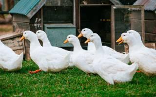 Технология выращивания уток — вирощування качок