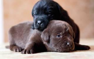 Как определить пол новорожденного щенка — как понять мальчик или девочка щенок?