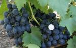 Сорт винограда сфинкс фото и описание отзывы