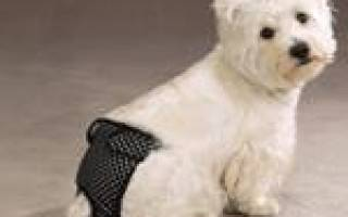 Трусы для собаки во время течки