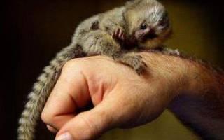 Маленькие обезьянки породы игрунки, карликовая мармозетка