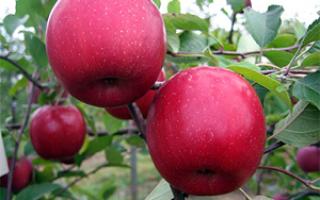 Яблоня вишневое описание фото отзывы