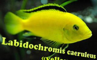 Лабидохромис еллоу как отличить самку от самца – желтая цихлида