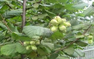 Листья фундука полезные свойства и противопоказания: трава лещина