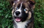 Овчарка и хаски: лютоволк собака