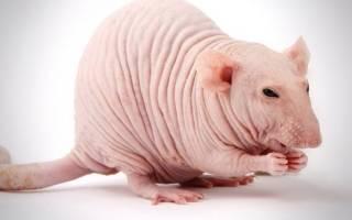 Сколько живут декоративные крысы в домашних условиях?
