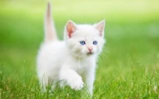 Имя для кота мальчика белого цвета: клички для белых котиков