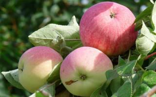 Яблоня мельба описание сорта фото отзывы