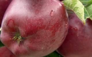 Яблоня супер чиф описание фото отзывы, сорт ред
