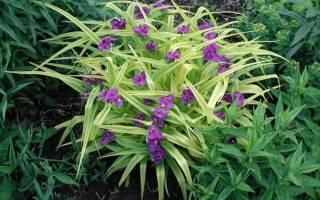 Традесканция садовая многолетняя посадка и уход