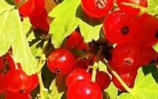 Как сделать вино из черной смородины – ягодка созрела смотреть бесплатно